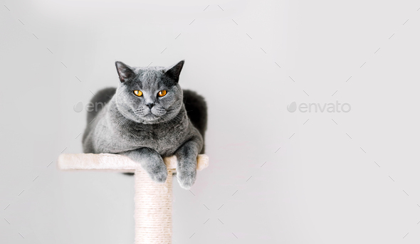 British Shorthair cat lying on scratcher. - Stock Photo - Images