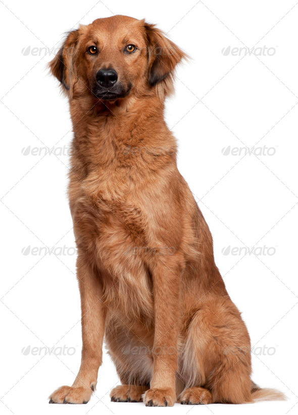 Herding dog sitting in front of white background - Stock Photo - Images