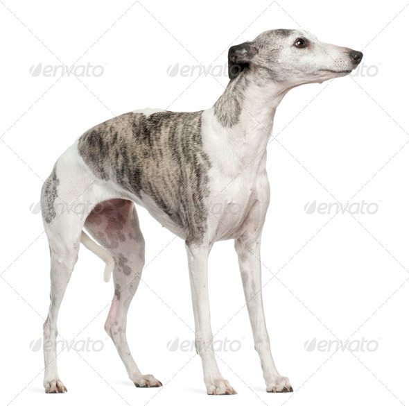 Whippet, 12 months old, standing in front of white background - Stock Photo - Images