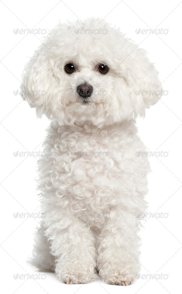 Bichon frise, 5 years old, sitting in front of white background - Stock Photo - Images