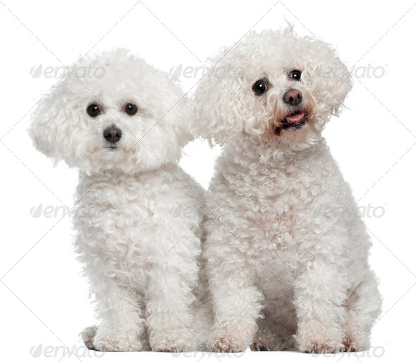 Bichon frise, 9 and 5 years old, sitting in front of white background - Stock Photo - Images