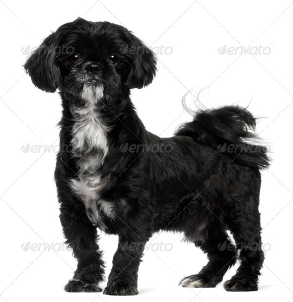 Shih Tzu standing in front of white background - Stock Photo - Images