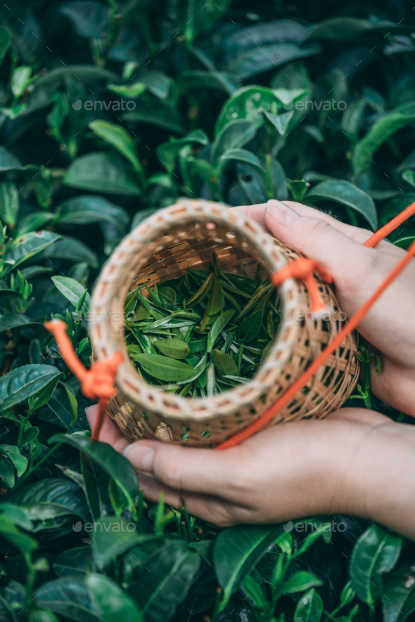 Vertical shot of a female collecting tea leaves - Stock Photo - Images