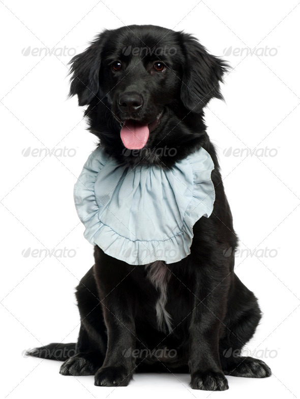 Golden Retriever wearing a bib, 5 months old, sitting in front of white background - Stock Photo - Images