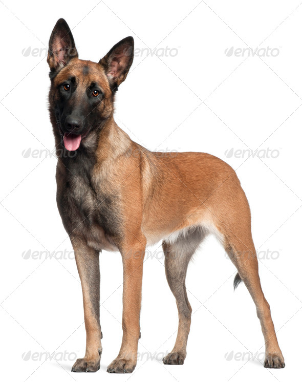 German Shepherd, 1 year old, standing in front of white background - Stock Photo - Images
