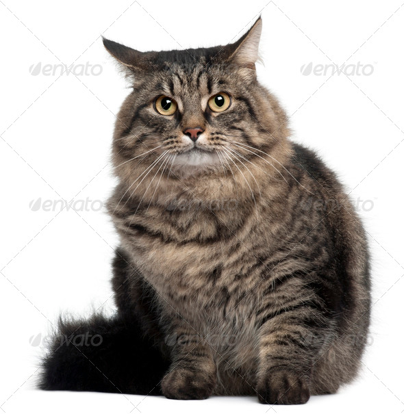 Cross Breed Cat sitting in front of white background - Stock Photo - Images