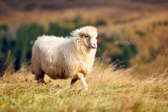 A white sheep on a mountain pasture. Sunny autumn day - Stock Photo - Images