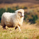 A white sheep on a mountain pasture. Sunny autumn day - PhotoDune Item for Sale