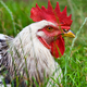 Portrait of white rooster in the green grass - PhotoDune Item for Sale