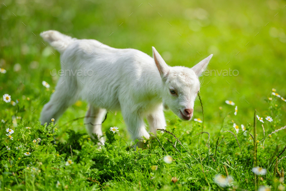 White little goat standing on green grass with daisy flowers on a sunny day - Stock Photo - Images