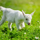 White little goat standing on green grass with daisy flowers on a sunny day - PhotoDune Item for Sale