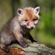 Red fox (Vulpes vulpes), small cute cub in the spring forest - PhotoDune Item for Sale