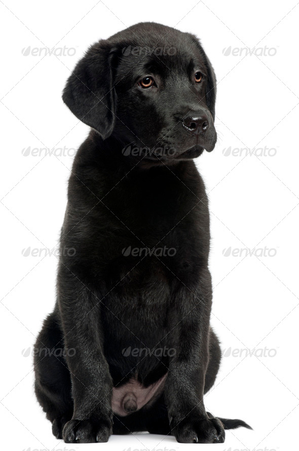 Labrador, 12 weeks old, sitting in front of white background - Stock Photo - Images
