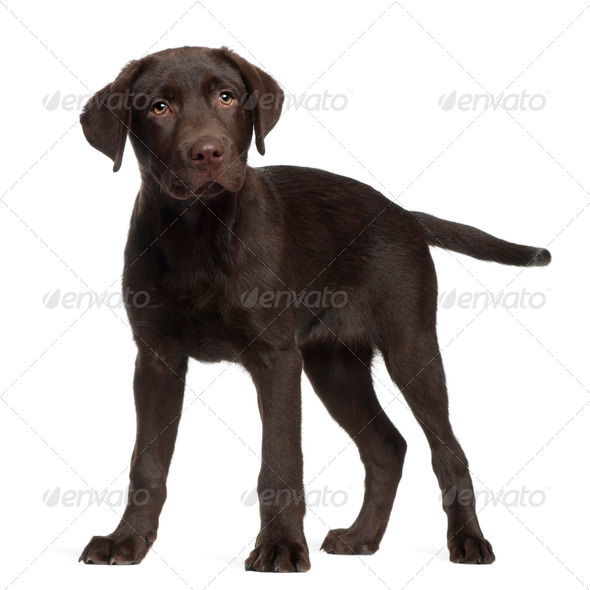 Labrador, 3 months old, standing in front of white background - Stock Photo - Images
