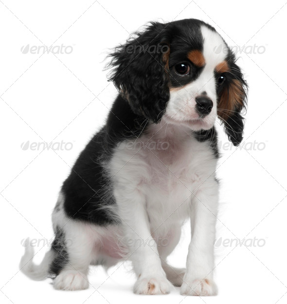 Cavalier King Charles, 10 weeks old, sitting in front of white background - Stock Photo - Images