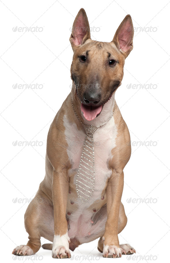 Bull Terrier wearing a necktie, 2 years old, sitting in front of white background - Stock Photo - Images