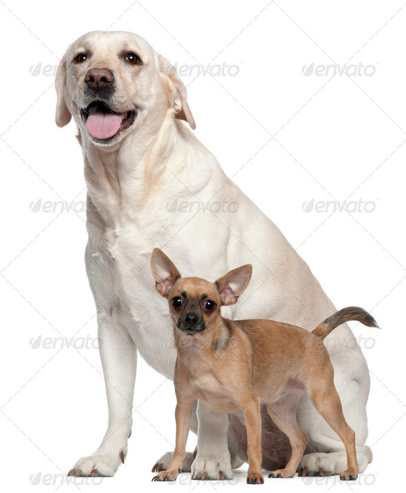 Pincher, 1 year old, and Labrador, 4 years old, in front of white background - Stock Photo - Images