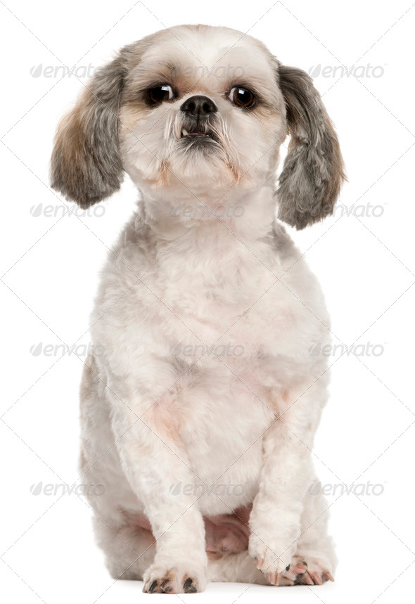 Shih Tzu (2,5 years old) - Stock Photo - Images