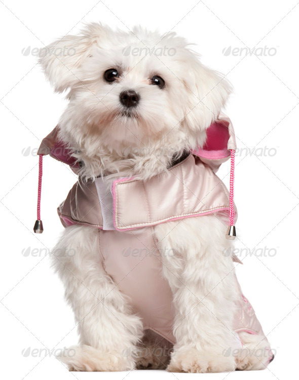 Maltese puppy (-9 month old) - Stock Photo - Images