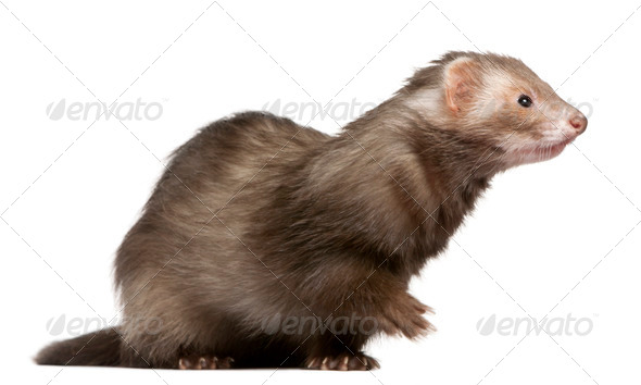 Ferret (3 years old), Ferret (5 months old), Ferret (2 years old), Pug puppy (4 months old) - Stock Photo - Images
