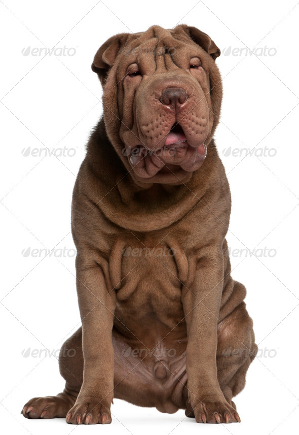 Shar Pei puppy (5 months old) - Stock Photo - Images