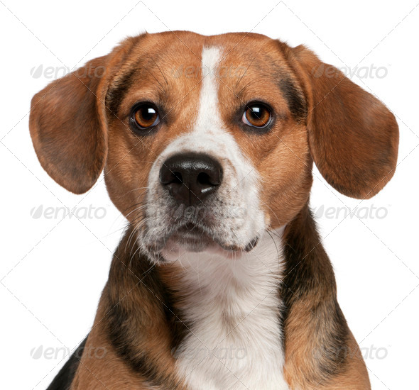 Beagle (3 years old) - Stock Photo - Images