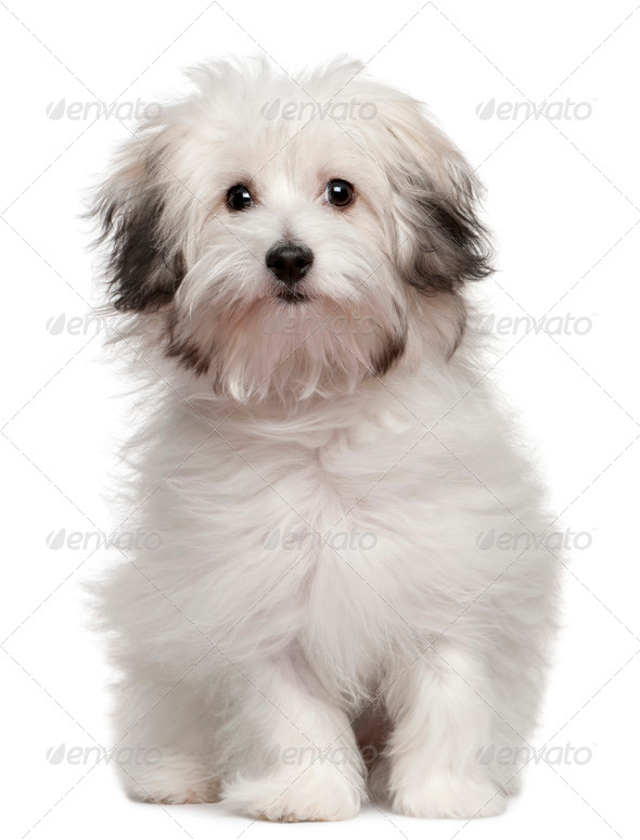 Bolognese puppy (6 months old) - Stock Photo - Images