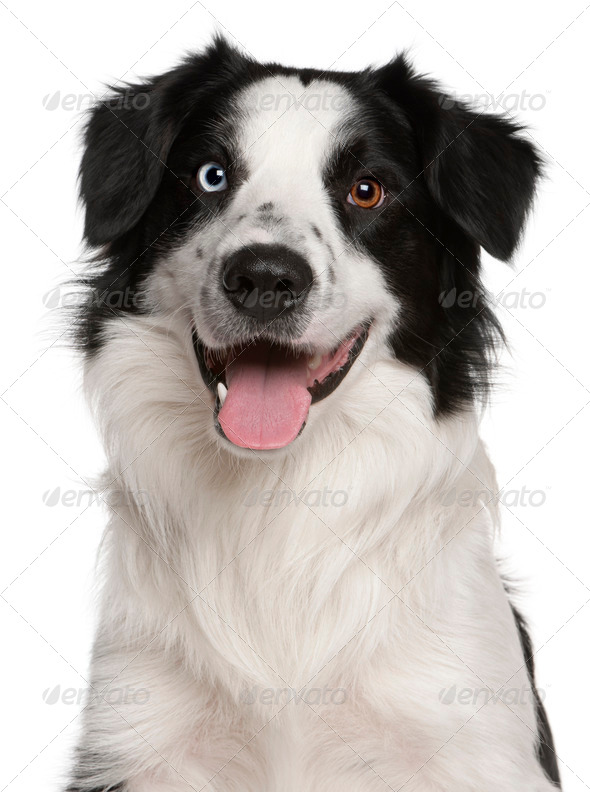 Border Collie (14 months old) - Stock Photo - Images