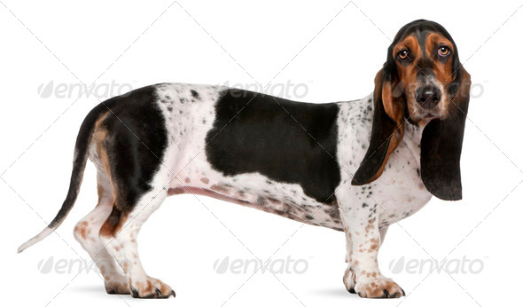 Basset Artésien Normand (11 months old), Mixed-breed (4 years old) - Stock Photo - Images