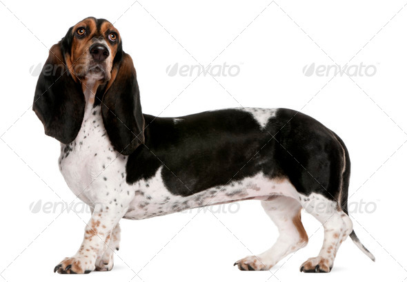 Basset Artésien Normand (11 months old), Mixed-breed (4 years ol - Stock Photo - Images