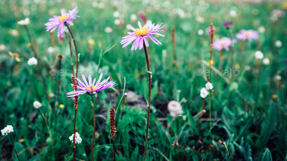 Beautiful Taraxacum flower on highland plain - Stock Photo - Images