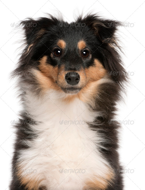 Shetland Sheepdog puppy (6 months old) - Stock Photo - Images