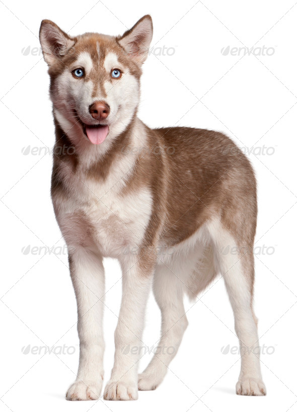 Siberian Husky puppy (4 months old) - Stock Photo - Images