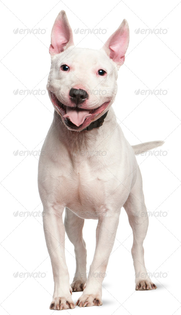 Staffordshire Bull Terrier (4 years old) - Stock Photo - Images