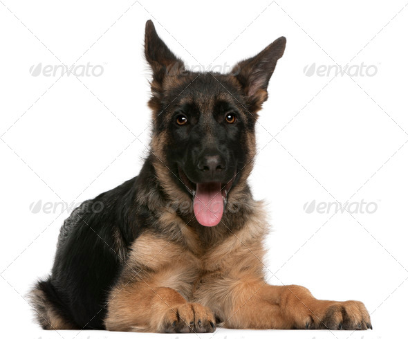 German Shepherd Dog puppy (4 months old), Border Collie puppy (2 months old) - Stock Photo - Images