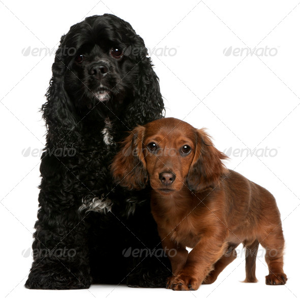 American Cocker Spaniel (2 years old), Dachshund puppy (4 months old) - Stock Photo - Images