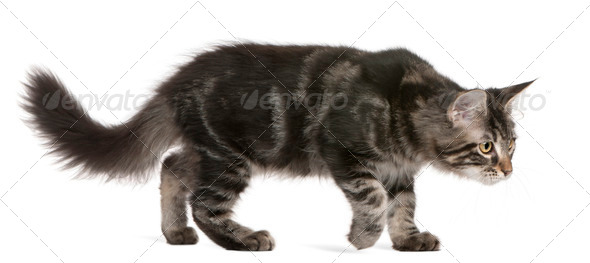 Maine Coon kitten (4 months old) - Stock Photo - Images