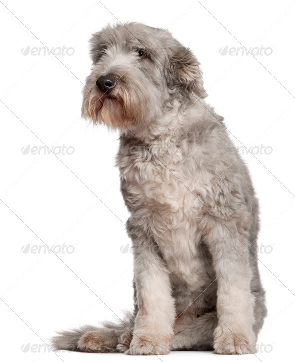 Bearded Collie (10 years old) - Stock Photo - Images