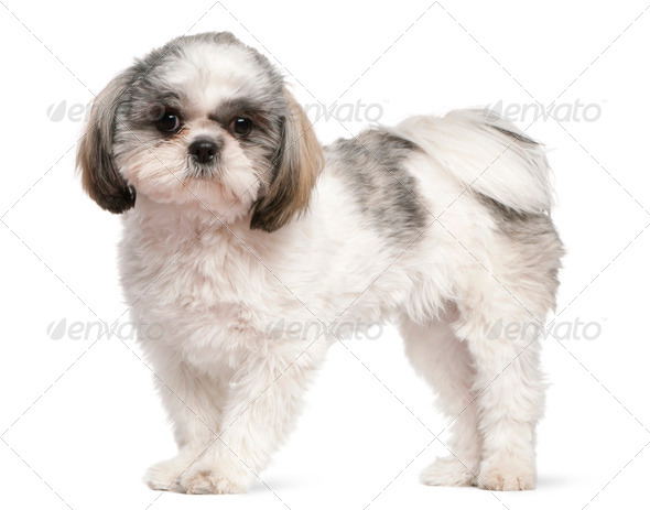 French Bulldog (2 years old), Shih Tzu (8 months old) - Stock Photo - Images