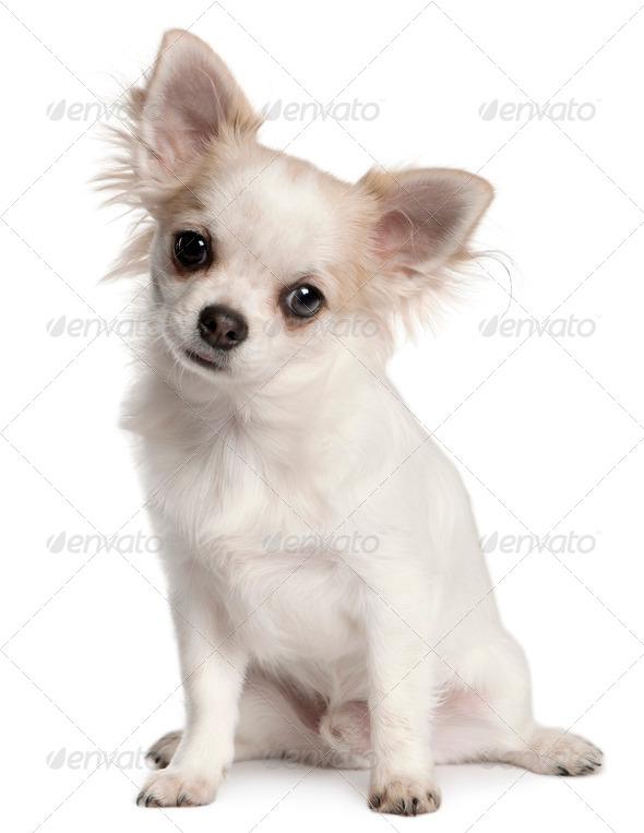 Belgian Shepherd Dog (Groenendael) (1 year old) - Stock Photo - Images