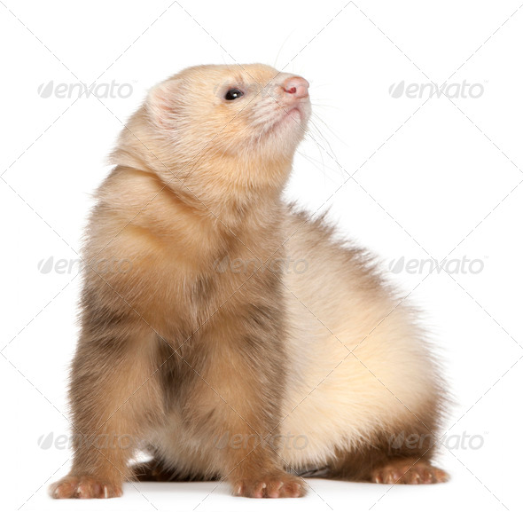 Ferret (6 months old), Ferret (6 months old) - Stock Photo - Images