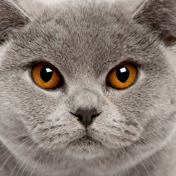 British Shorthair (8 months old), British Shorthair (6 months ol - Stock Photo - Images