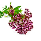 Oregano sprig - PhotoDune Item for Sale