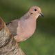 Mourning Dove - PhotoDune Item for Sale