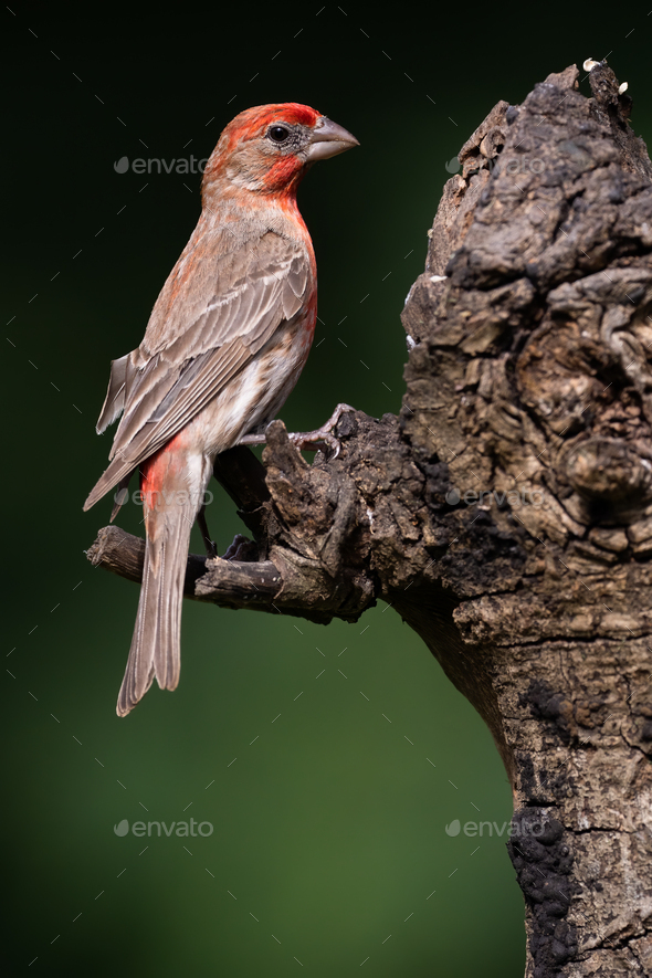 House Finch - Stock Photo - Images