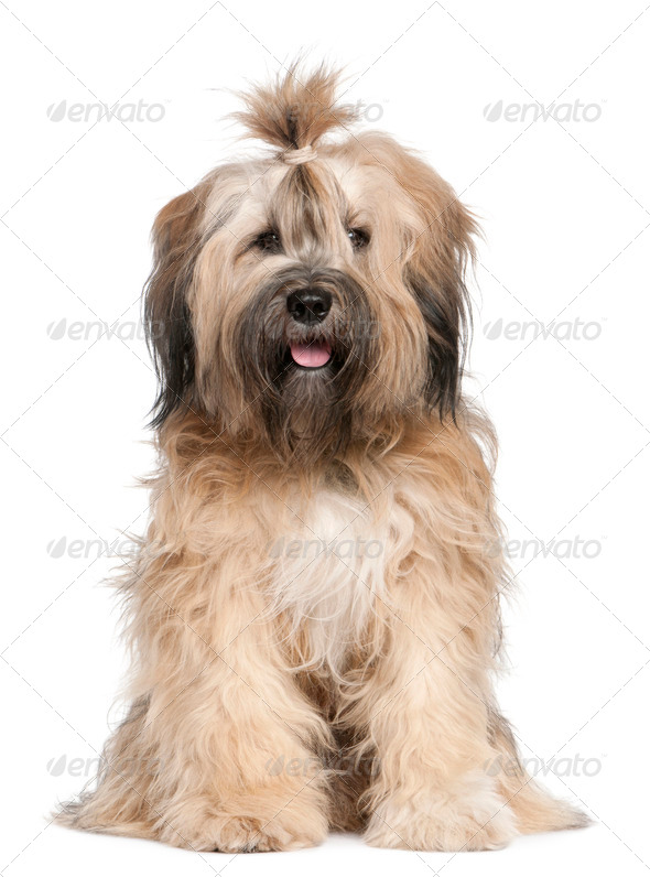 Tibetan Terrier (1 year old) - Stock Photo - Images