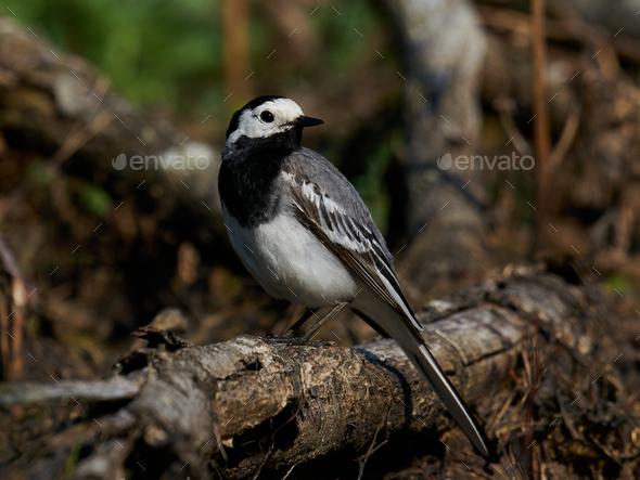 White wagtail (Motacilla alba) - Stock Photo - Images