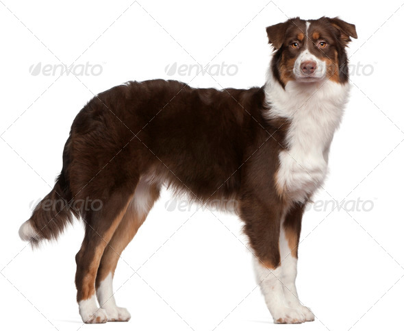 Australian Shepherd (7 months old) - Stock Photo - Images