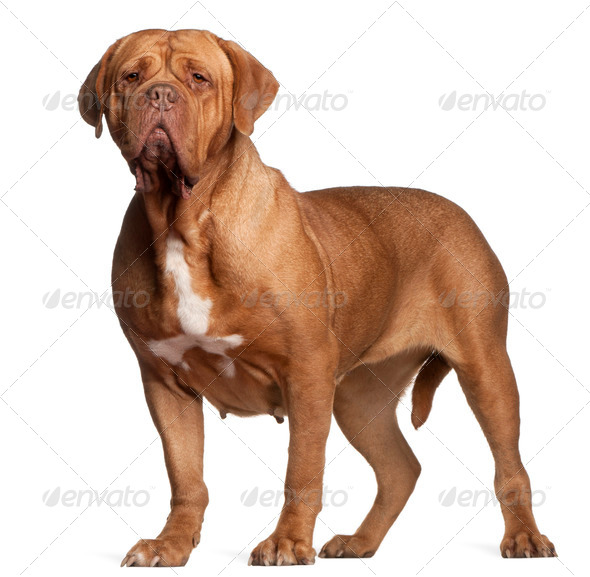 Dogue de Bordeaux (7 years old) - Stock Photo - Images