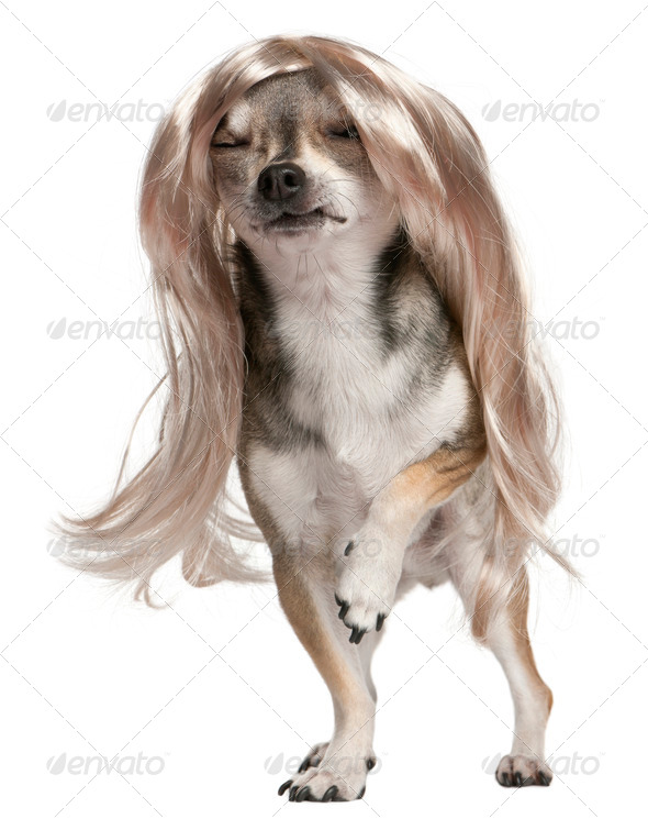 Chihuahua with long hair wig, 3 years old, standing in front of white background - Stock Photo - Images
